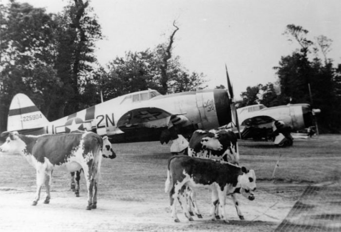 """P-47 Thunderbolts, including (2N-U, serial number 42-25904) nicknamed """"Lethal Liz II"""", of the 50th Fighter Group, with cows at Carentan Airfield (A-10), France, Summer 1944."""